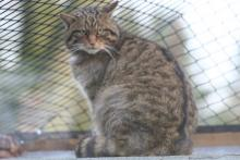 A wildcat in a captive breeding programme at Twycross Zoo