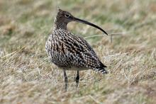 Curlew are sometimes heard at Mingarry Lodges
