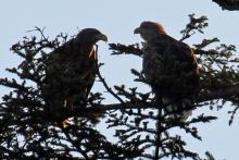 A pair of white tailed eagles near Loch Shiel