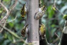 Siskins on one of the bird feeders close by the Lodges