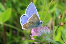 Common blue butterfly at Mingarry Lodges