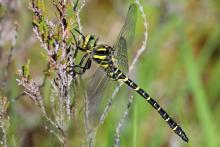 Golden ringed dragonfly at Mingarry Lodges