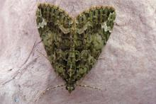 Red green carpet moth.  Come and join us moth traping at Mingarry Lodges