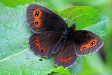 Scotch argus butterfly on the wing in late summer at Mingarry Lodges