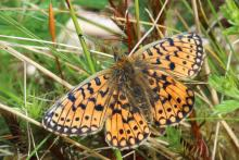 Small pearl bordered fritillary at Mingarry Lodges