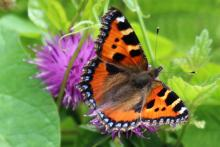 Small tortoiseshell butterfly at Mingarry Lodges