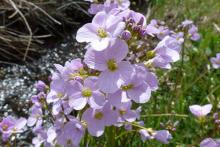 Cuckoo flower is the food plant of the Orange tip butterfly caterpillar