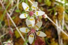 Starry saxifrage, part of the Scottish alpine flora