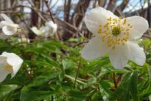 Wood anemone grow in the woodlands behind Mingarry Lodges