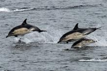 Common dolphins seen from the ferry to The Small Isles