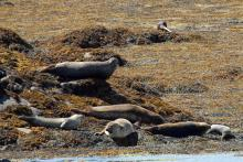 Common seals and an otter on Loch Sunart