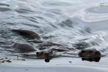 Otters can often be seen swimming in the local sea lochs