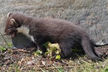 A pine marten kit seen at Mingarry Lodges