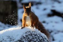 A red squirrel in the snow behind Mingarry Lodges