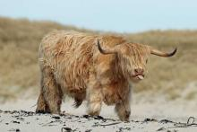 Highland Cow enjoying the March sunshine at Sanna Bay