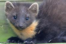 Mingarry Lodges is a great place for close encounters with pine martens