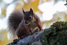 Red squirrels are regulary seen at Mingarry Lodges